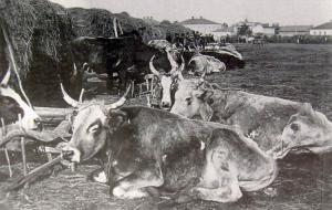 О поставке скота для нужд армии